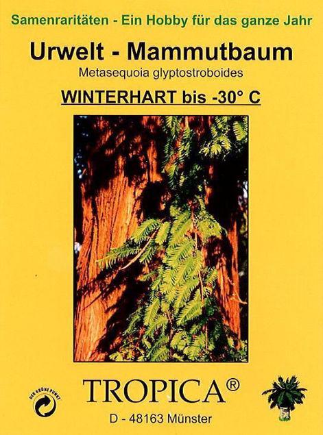 Bild von Urwelt-Mammutbaum (Samen)