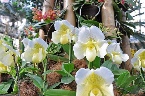 Bild von Orchidee Paphiopedilum Hybride Weiß